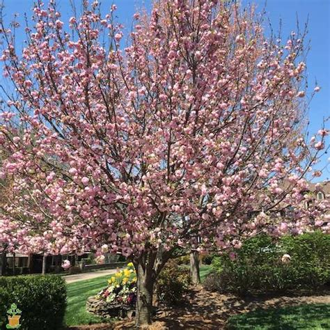k cherry tree kwanzan flowering cherry tree for sale the planting tree