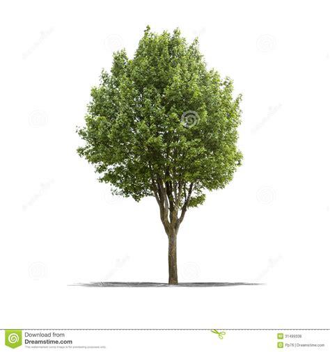 tree on white green tree on a white background royalty free stock photos