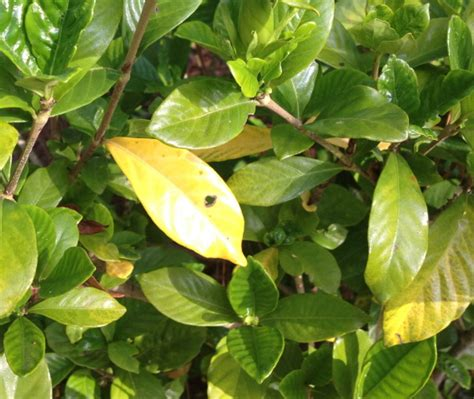 Gardenia Bush Yellow Leaves What S Wrong With My Gardenias Yellow Leaves Spots Rust