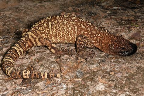 beaded lizard mexican beaded lizard habitat www pixshark images