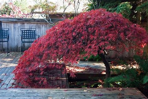 maple tree small yard japanese maples www coolgarden me