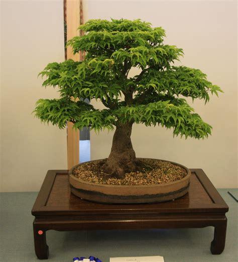 maple bonsai tree uk broadleaf bonsai swindon district bonsai
