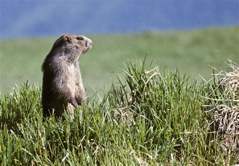 groundhog day information seven facts about groundhog day plymouth rock