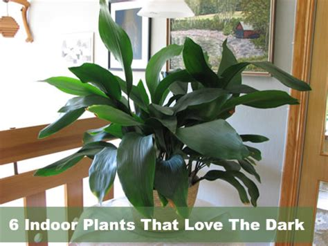 indoor plants no light 6 indoor plants that the