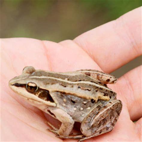 tree frog woodworking wood frog
