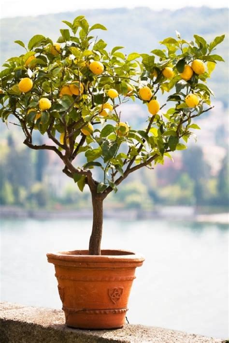 pot tree how to grow a lemon tree in pot care and growing