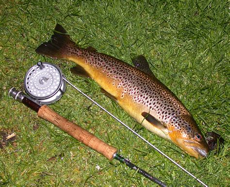 fishing trout trout fishing scotland brown trout fly fishing