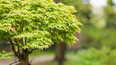 maple tree small yard 10 great trees for small yards treehugger