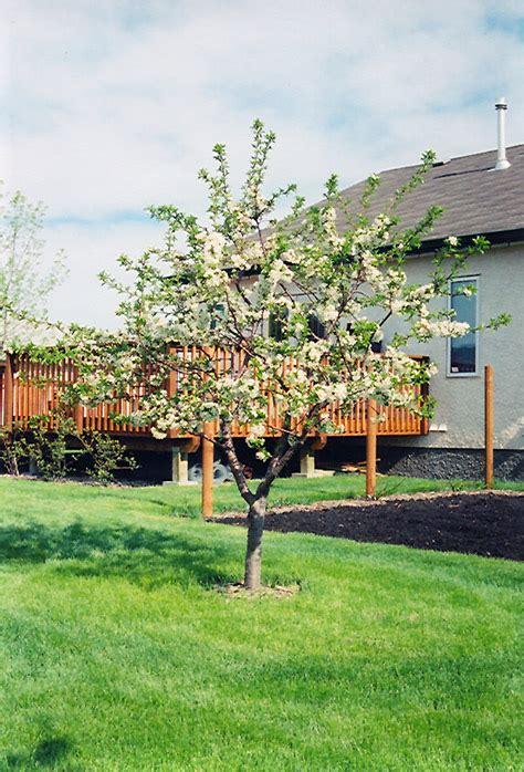 cherry prunus in winnipeg headingley oak bluff manitoba mb at shelmerdine garden
