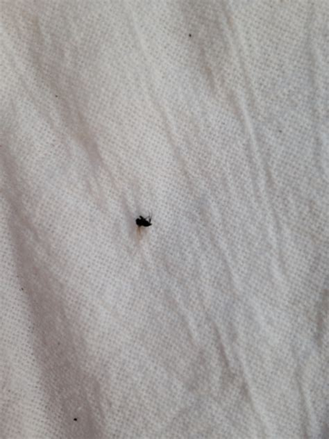 tiny flying insects in house tiny black bugs with wings that gather around window