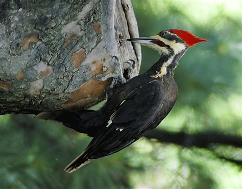 the woodpecker woodworking pileated woodpecker hudson valley geologist