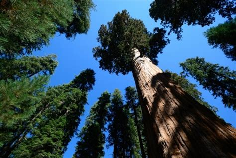 tallest tree in the world top ten tallest trees in the world whenhowto