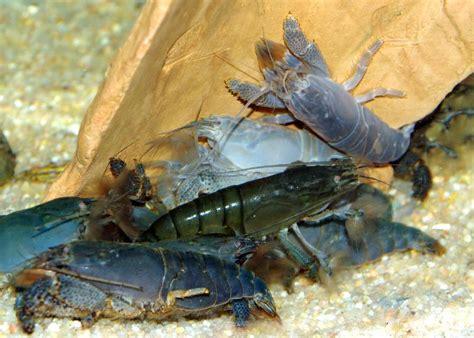 poissons exotiques vente magasin uniquement crevettes escargots crabes invert 233 br 233 s d eau