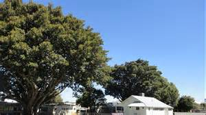 live trees perth exceptional tree register on wa mornings abc perth