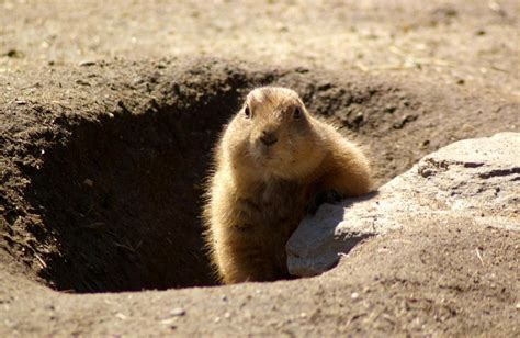 how to groundhog day groundhog images