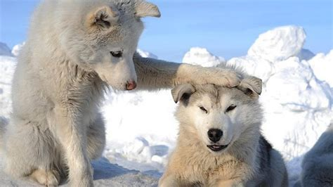 white wolf huskies go crazy 17 funny husky pictures