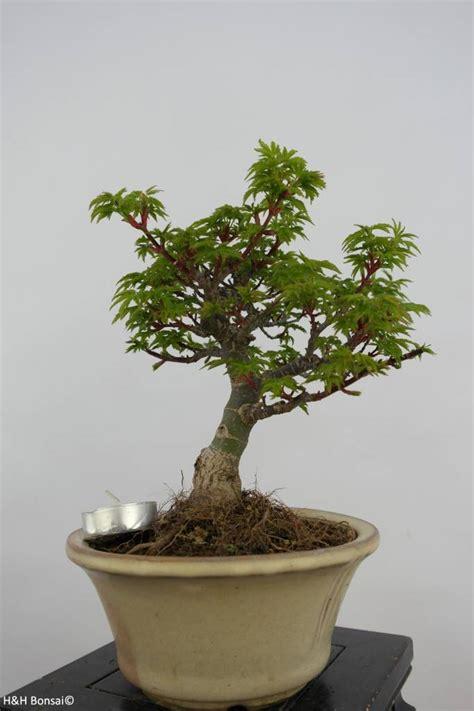 maple bonsai tree uk bonsai japanese maple shishigashira acer palmatum shishigashira no 6414 www henhbonsai co uk