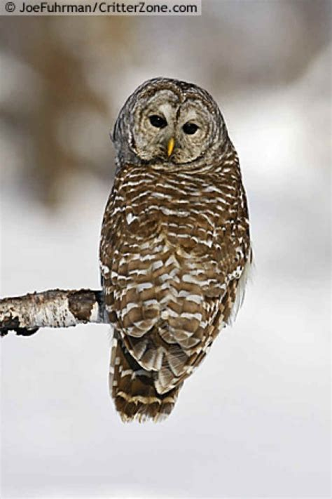lwork owl barred owl strix varia works of the creator an all