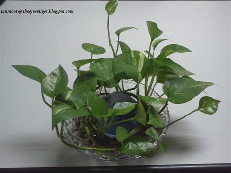 plants in water golden pothos money plant in water medium inspiring