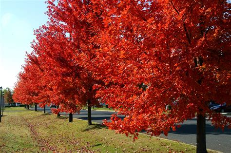 the 25 best autumn blaze maple ideas on maple tree fast growing trees and