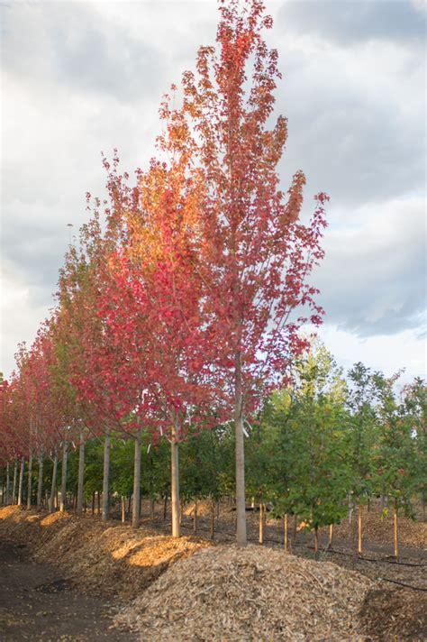 maple tree colorado maple armstrong columnar for sale in boulder colorado
