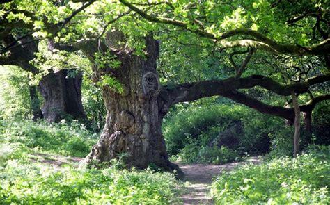 oak tree woodworking last surviving oak tree from wood that inspired