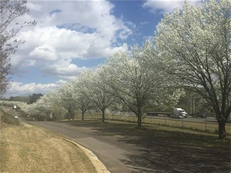 6 cherry tree road cherry trees blooming on grantswood road irondale al