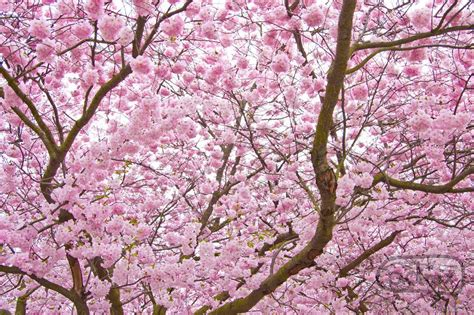 national tree of japan cherry blossom 123countries