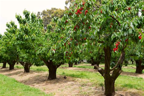 cherry tree orchard cherry trees in garden stock photo image of nature agriculture 35389986