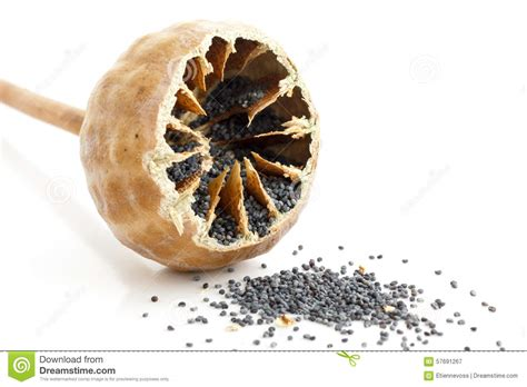 cut seed single cut open poppy seed pod with seeds spilling out on