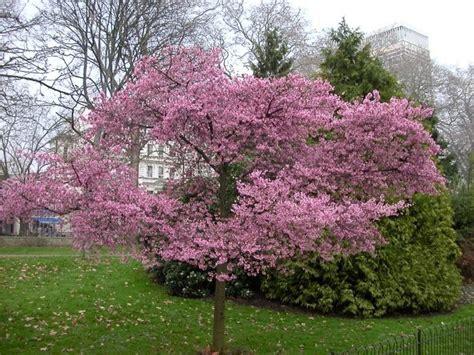 cherry tree wisnie w czekoladzie nursery plants how to flowering cherry tree