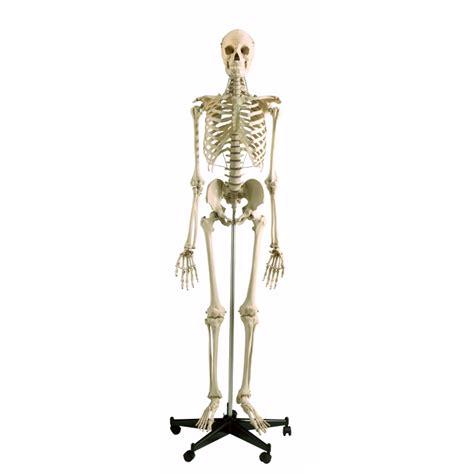 a skeleton model skeleton human size sports supports