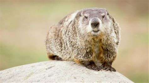 groundhog day hd groundhog in nature for groundhog day wallpaper hd