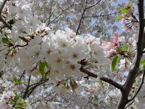 cherry tree yoshino buy cherry trees yoshino cherry trees hoosier home garden