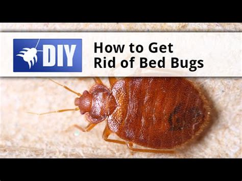 Get Rid Of Bed Bugs Fast by How To Get Rid Of Bed Bugs Tips