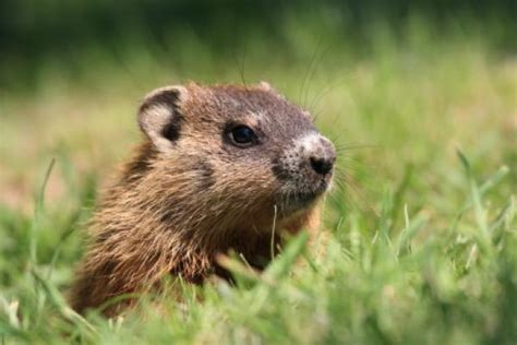 how to groundhog day murmeltiertag groundhog day in usa