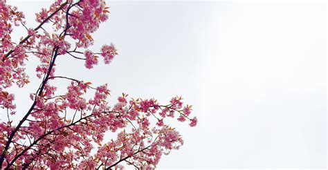 cherry blossom images cherry blossom tree 183 free stock photo