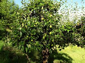 pear tree williams bon chretien aka bartlett pear lc s cottage