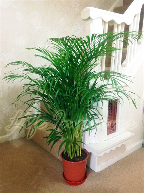 palm tree rubber st easyplants traditional evergreen indoor plant garden