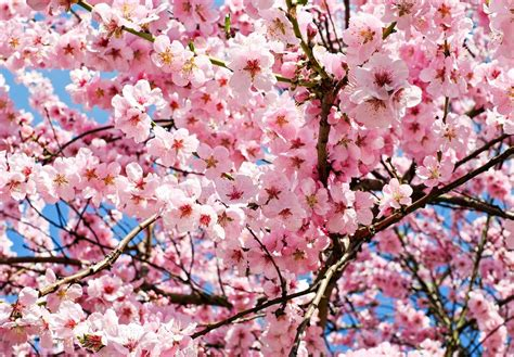 the best time to visit japan for cherry blossoms the invisible tourist