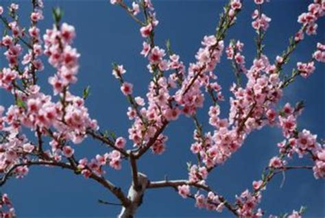 cherry tree vs cherry blossom tree japanese cherry tree facts home guides sf gate