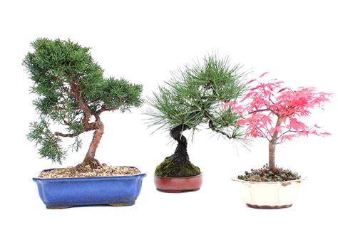 tree outdoor outdoor bonsai tree care guidelines bonsai empire
