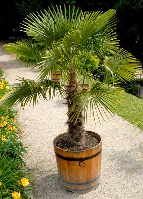 chamaerops humilis planter et cultiver ooreka