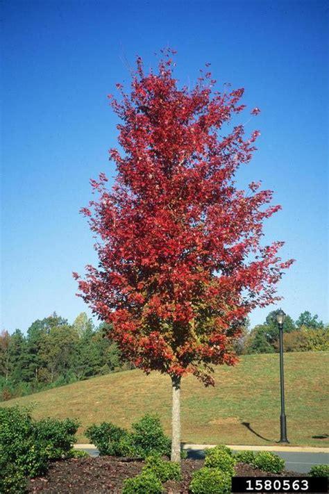 maple acer rubrum sapindales aceraceae 1580563