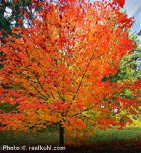 maple tree zone acer saccharum sugar maple so pretty i wish i had one of these in my yard fall