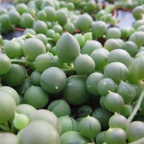 bead plant bead plant senecio rowleyanus string of pearls 2 5 quot pot