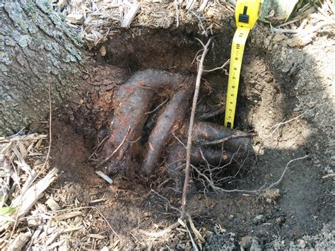 maple tree clay soil diagnosis diagnose sugar maple problem gardening landscaping stack exchange