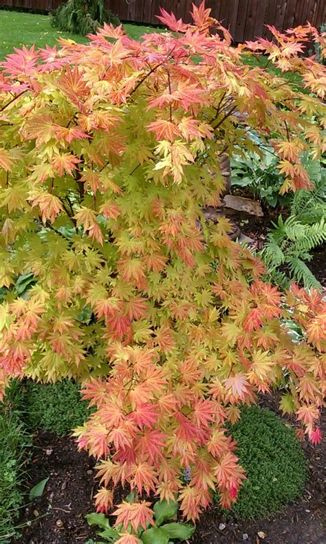 maple tree zone 10 108 best acer images on acer palmatum japanese maple and plants