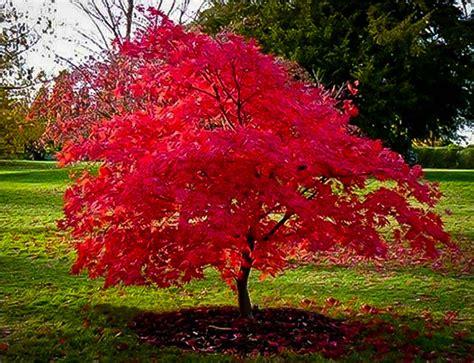 maple tree growing tips 8 fastest growing trees garden lovin