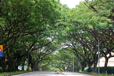 singapore tree national parks singapore tree samanea saman